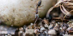 las-hormigas-son-causantes-de-enfermedades