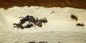 REPRODUCCIÓN DE LAS HORMIGAS » Formación de colonias